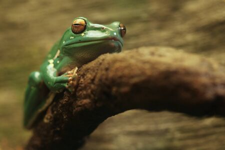 Chinese Gliding Frog With Eyes Closed Huging a Branch