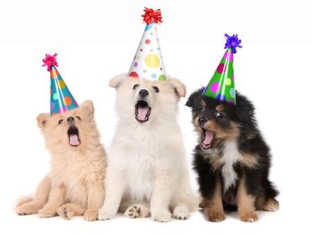 Humoristische Puppies gelukkig verjaardag lied zingen domme hoeden dragen Stockfoto