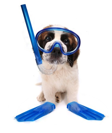 Funny Image of a Puppy Wearing Snorkeling Gear on White Background Stock Photo - 8059059