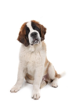 Curious Saint Bernard Puppy Sitting Down With Head Tilted in Studio Shot Stock Photo - 8058888
