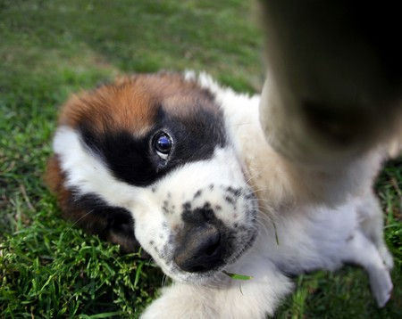Funny Fisheye Perspective of a Saint Bernard Puppy Outdoors Stock Photo - 8059108