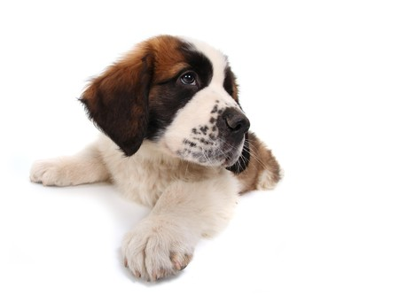 Sitting Saint Bernard Puppy Looking Sideways on White Background Stock Photo - 8058877