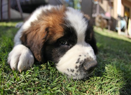 woebegone: Sweet Saint Bernard Puppy Lying in the Grass Looking Sad