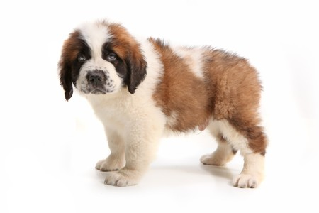 Droopy Saint Bernard Puppy Looking at the Viewer on White Background Stock Photo - 8058902