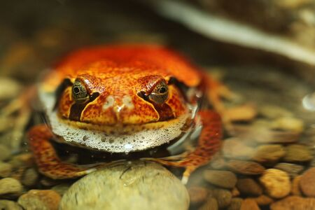 Red Tomato Frog Dyscophus Guineti Sitting in Water
