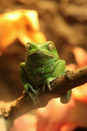 Green Exotic Waxy Monkey Frog Sitting on a Branch