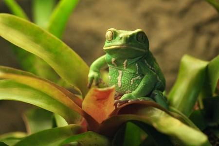 Green Waxy Monkey Frog Sitting on a Plant 版權商用圖片