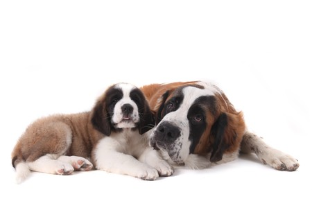 woebegone: Two Saint Bernard Puppies Together on a White Background Stock Photo