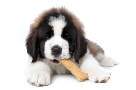 saint bernard: Carino Saint Bernard Puppy godono di un trattamento su sfondo bianco