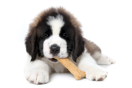 Cute Saint Bernard Puppy Enjoying a Treat on White Background Stock Photo