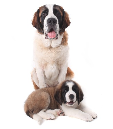 Two Saint Bernard Puppies Together on a White Background Stock Photo