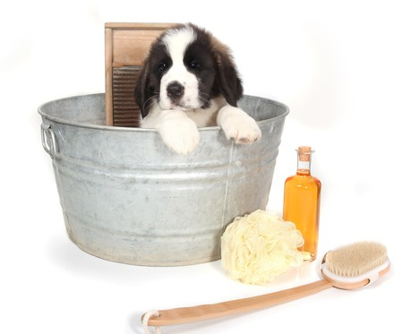 woebegone: Small Saint Bernard Puppy in a Washtub for Bath Time on White Background Stock Photo