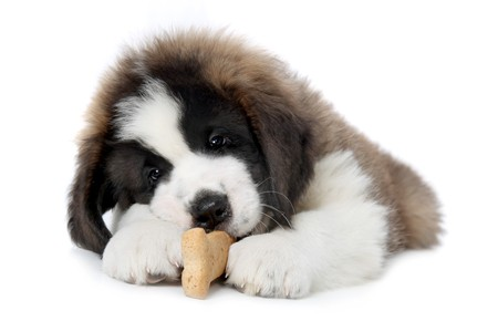 woebegone: Cute Saint Bernard Puppy Enjoying a Treat on White Background Stock Photo