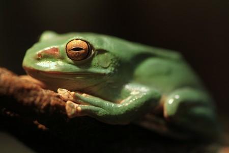 필드의 극단적 인 깊이와 지점에 앉아 중국 글라이딩 개구리 스톡 콘텐츠
