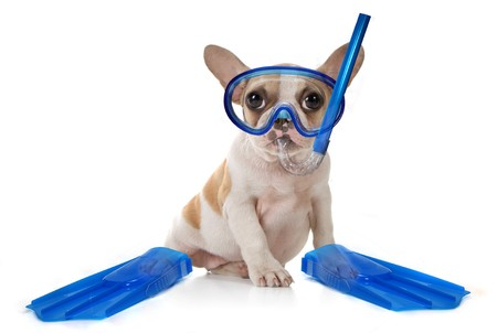 snorkel: Sitting Puppy Dog With Snorkeling Gear of a Mask With Fins. Studio Shot