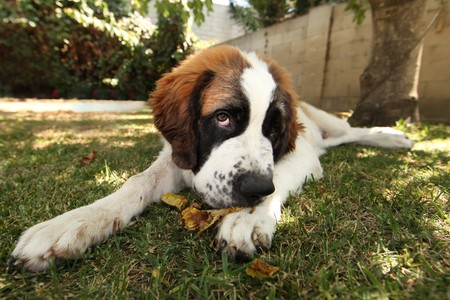 Cute Saint Bernard Puppy Lying in the Grass Outdoors Stock Photo - 8059442