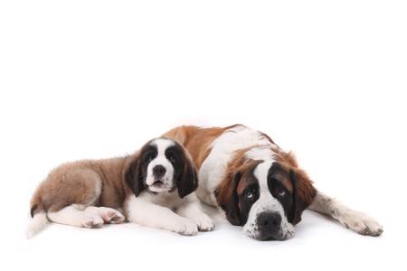 saint bernard: Due Saint Bernard Puppies insieme su uno sfondo bianco Archivio Fotografico