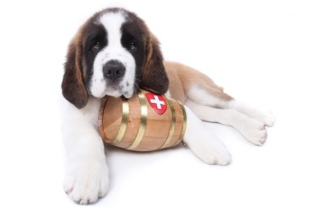 Saint Bernard puppy with a rescue barrel around the neck Stock Photo - 8059244
