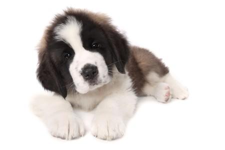 白い背景の上に横たわって甘い愛らしい聖 Bernard 子犬 写真素材