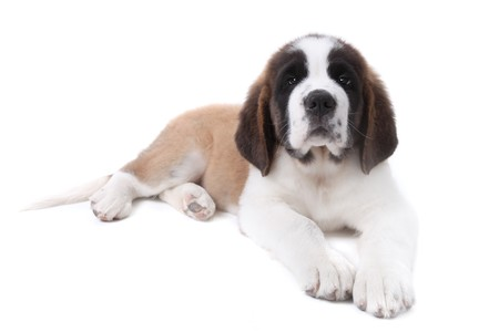 pure bred: Puppy Saint Bernard on a White Backgroud