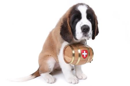 saint bernard: Cucciolo di San Bernardo con un barile di salvataggio intorno al collo Archivio Fotografico