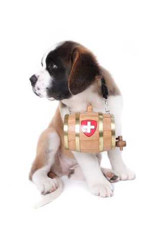 Saint Bernard puppy with a rescue barrel around the neck Stock Photo - 8059242