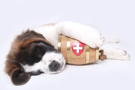 Saint Bernard puppy with a rescue barrel around the neck