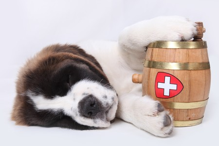 Saint Bernard puppy with a rescue barrel around the neck Stock Photo - 8059119
