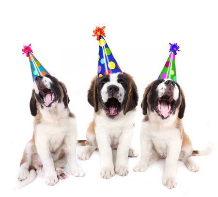 Birthday singing Saint Bernard puppies with party hats