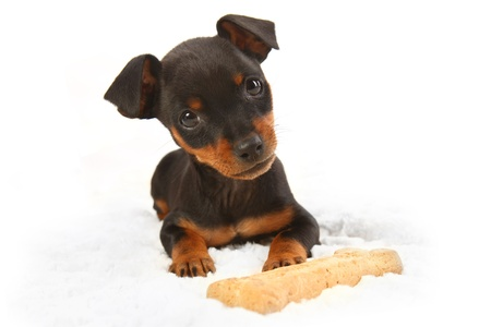 doberman: Adorable Miniature Doberman Toy Pinsher Puppy Dog on White Background