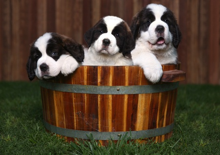 Adorable Saint Bernard Puppies in a Barrel Outdoors photo