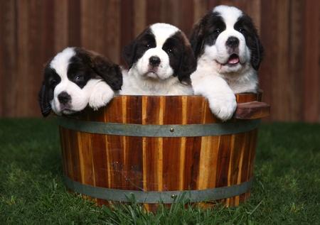 Adorable Saint Bernard Puppies in a Barrel Outdoors Фото со стока