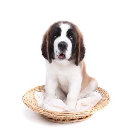 saint: Happy Cute Saint Bernard Puppy Dog on White