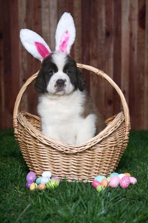 Saint Bernard Puppy Wearing Bunny Ears Stock Photo - 9863127