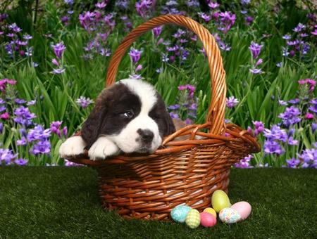 Adorable Saint Bernard Puppy Portrait photo