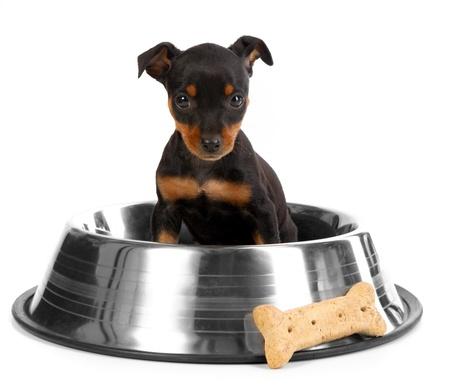 白の背景に愛らしいミニチュア ドーベルマン犬グッズ Pinsher 子犬犬 写真素材