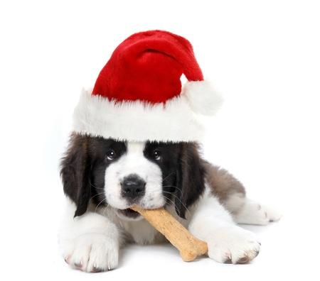 크리스마스 산타 클로스 세인트 버나드 강아지 스톡 콘텐츠