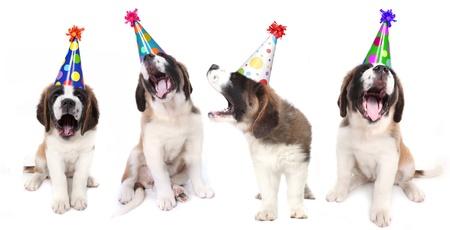 saint bernard: Birthday Singing Saint Bernard Dogs Celebrating