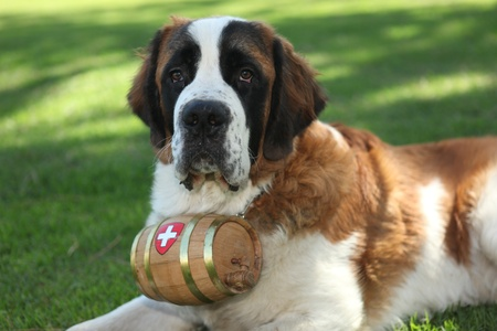 Saint Bernard Puppy Dog Outdoors in the Grass photo