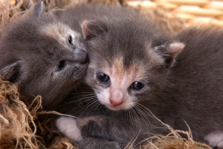 Adorable Cute Newborn Baby Kittens  Stock Photo - 10629723