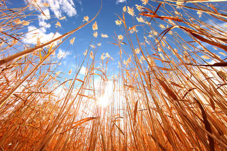 Tall Beautiful Wheat Grass Outdoors on a Sunny Day Stock Photo - 11227085