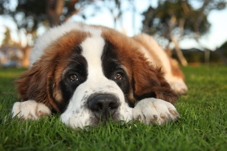 Adorable Saint Bernard Purebred Puppy  Stock Photo - 11227020