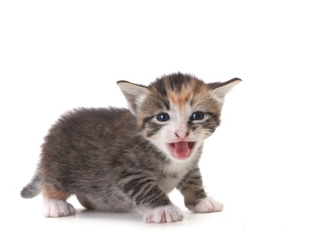 Hissing Newborn Domestic Kitten On White Stock Photo - 11226978