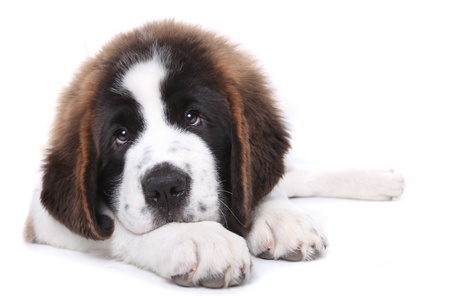 woebegone: Saint Bernard Puppy Lying Down With Big Puppy Dog Eyes Stock Photo