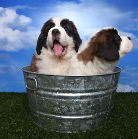 woebegone: Cute and Adorable Saint Bernard Pups