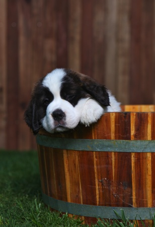 woebegone: Cute and Adorable Saint Bernard Pups