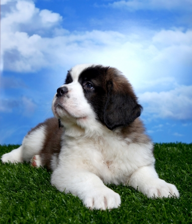 Cute and Adorable Saint Bernard Pups  photo