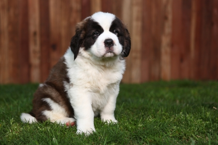 woebegone: Cute and Adorable Saint Bernard Pup