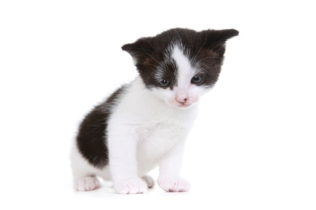 Cute Little Kitten Portrait in Studio on White Background Stock Photo - 15162294