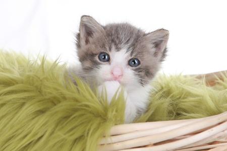 Cute Little Kitten Portrait in Studio on White Background Stock Photo - 15162306